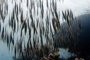 Razorfish (Aeoliscus strigatus)