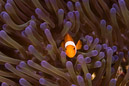Western clown anemonefish (Amphiprion ocellaris)