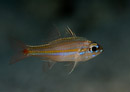 Yellow-striped cardinalfish (Apogon cyanosoma)