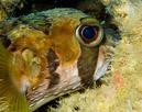 Svartfläckig igelkottsfisk (Diodon liturosus)