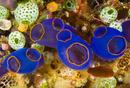 sea squirt (Clavelina fusca)