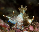 the nudibranch Nembrotha lineolata