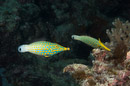 Långnosad filfisk (Oxymonacanthus longirostris)