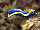 the nudibranch Chromodoris annae