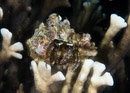 White-stalked hermit crab (Dardanus sp)