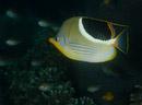 Sadelfjärilsfisk (Chaetodon ephippium)