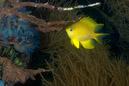 Gyllengul frökenfisk (Amblyglyphidodon aureus)
