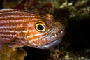 Tiger cardinalfish (Cheilodipterus macrodon) with eggs