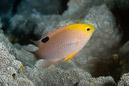 Talbots frökenfisk (Chrysiptera talboti)