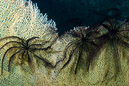 feather-stars on coral