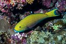 Steepheaded parrotfish (Scarus gibbus), female