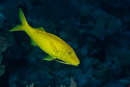 Yellowsaddle goatfish (Parupeneus cyklostomus)