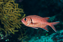 White-edged soldierfish (Myripristis murdjan)