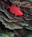 Vanlig storögonfisk (Priacanthus hamrur)