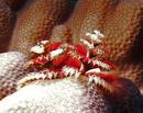 Christmas tree worm (Spirobranchus giganteus)