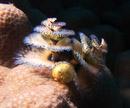 Julgransrörmask (Spirobranchus giganteus)