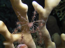 Spiny spider crab (Achaeus spinosus)