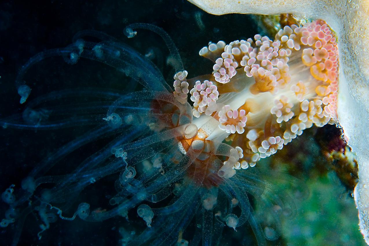Alicia anemone (Alicia pretiosa)