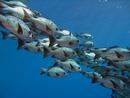 Svart snapperfisk (Macolor niger)