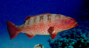 Red Sea coral grouper (Plectropomus pessuliferus marisrubri)