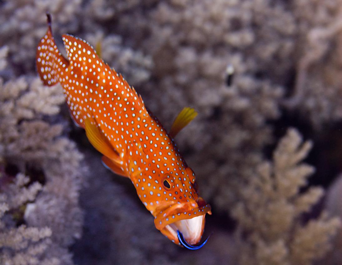 Coral grouper (Cephalopholis miniata)