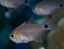 Orange-lined cardinalfish (Archamia fucata)