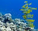 Dory-snapperfisk (Lutjanus fulviflamma)
