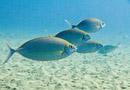 Forktail rabbitfish (Siganus argenteus)