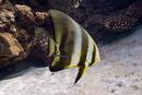 Circular batfish (Platax orbicularis)