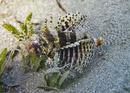 Kortfenad dvärgdrakfisk (Dendrochirus brachypterus)