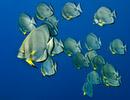 Rund fladdermusfisk (Platax orbicularis)
