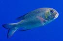 Storögd revbleckefisk (Monotaxis grandoculus)