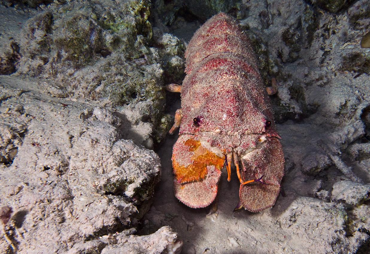 A big slipper lobster! Probably a Clam digger (Scyllarides tridacnophaga)
