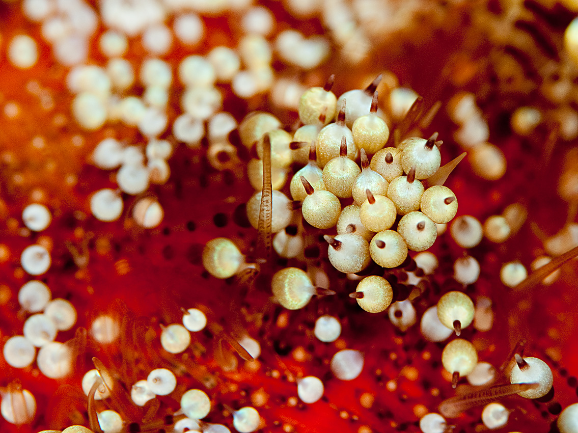 Rödahavseldsjöborre (Asthenosoma marisrubri)