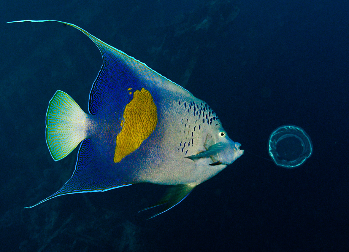 Arabian angelfish (Pomacanthus maculosus)
