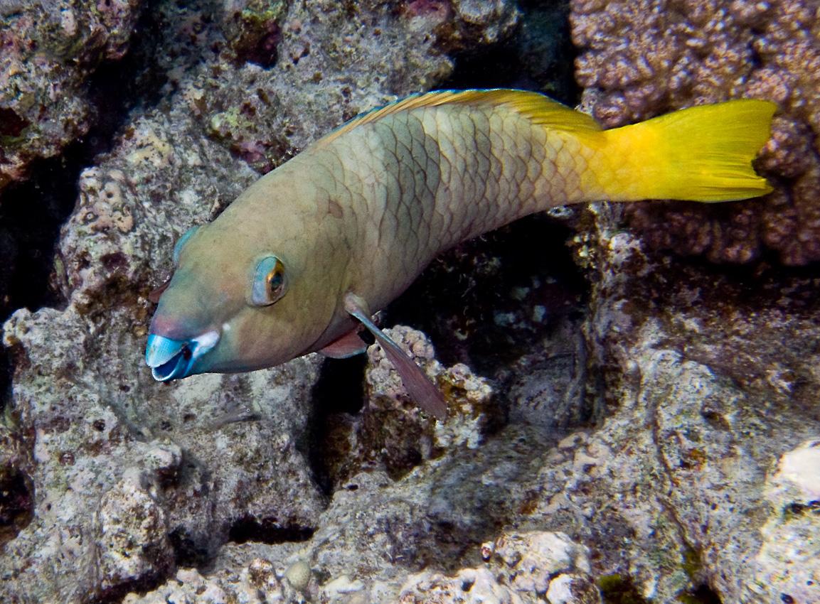 Rusty parrotfish, female (Scarus ferrugineus)