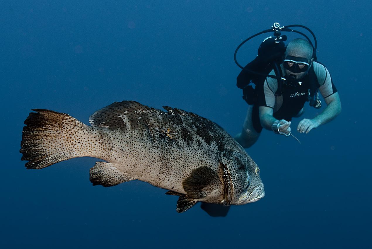 Piet med Potatishavsabborre (Epinephelus tukula) på 32 m djup