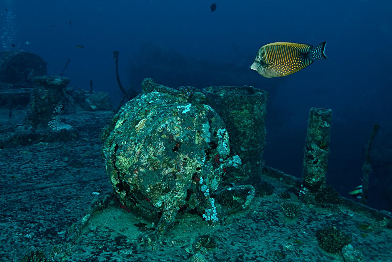 Sailfin tang (Zebrasoma veliferum)