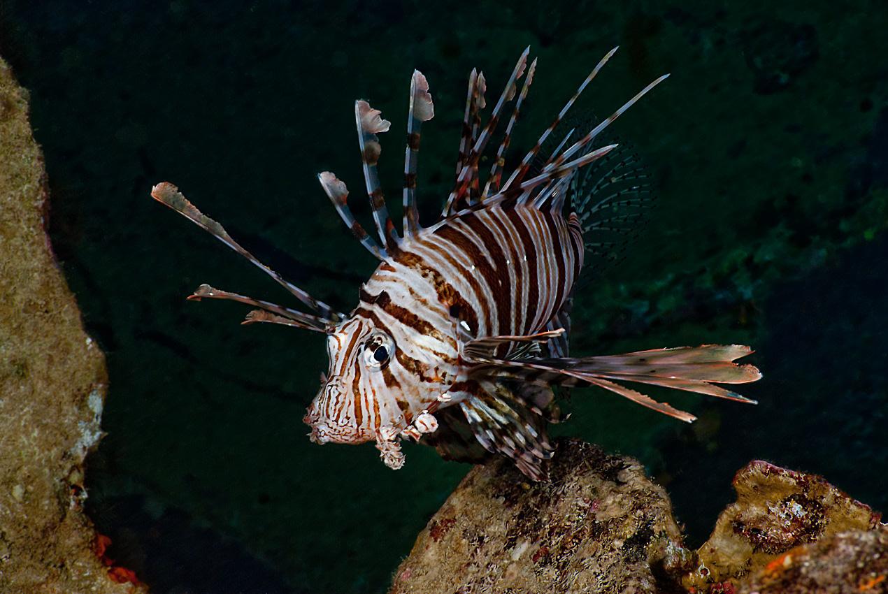 Common lionfish (Pterois volitans)