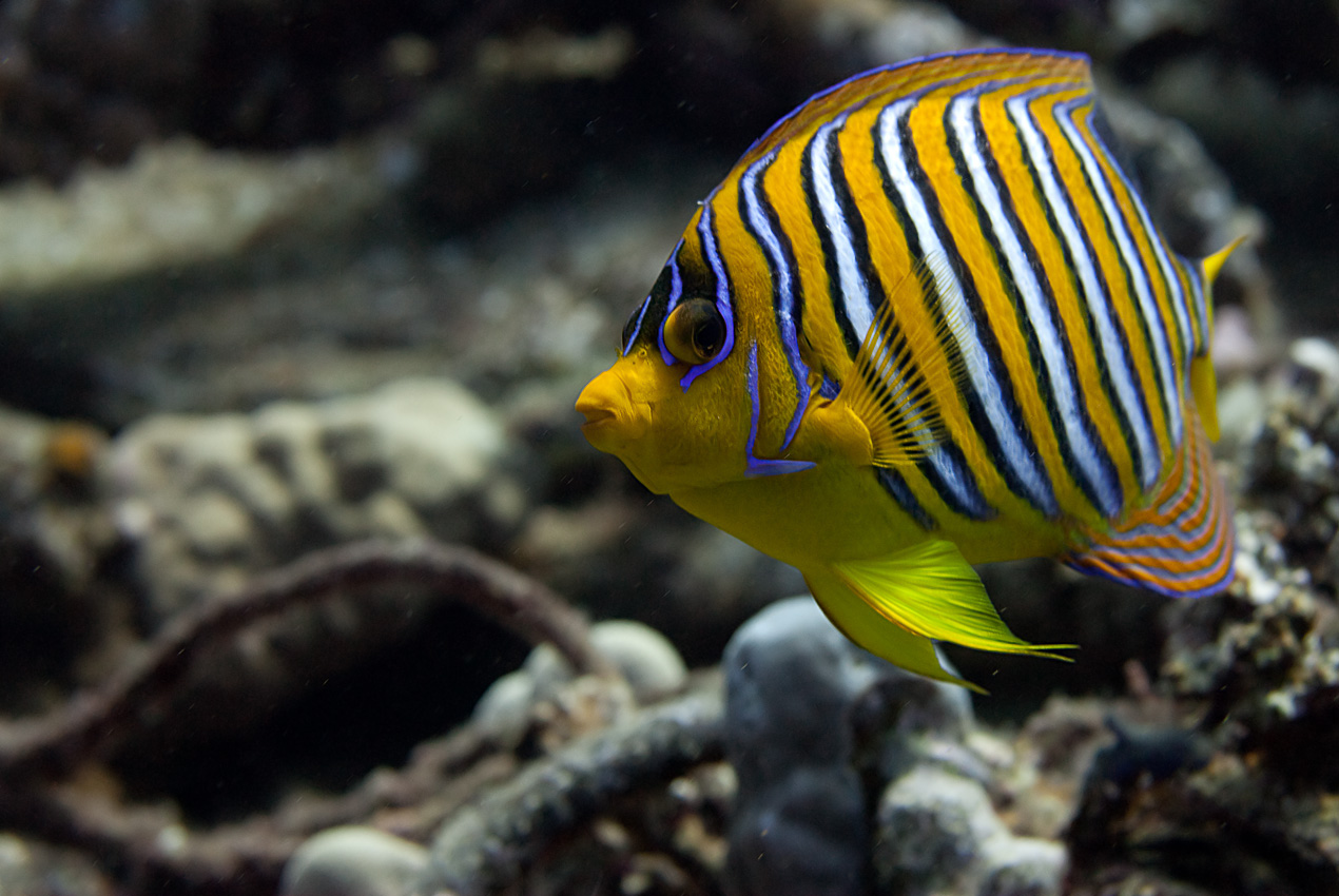 Royal angelfish (Pygoplites diacanthus)