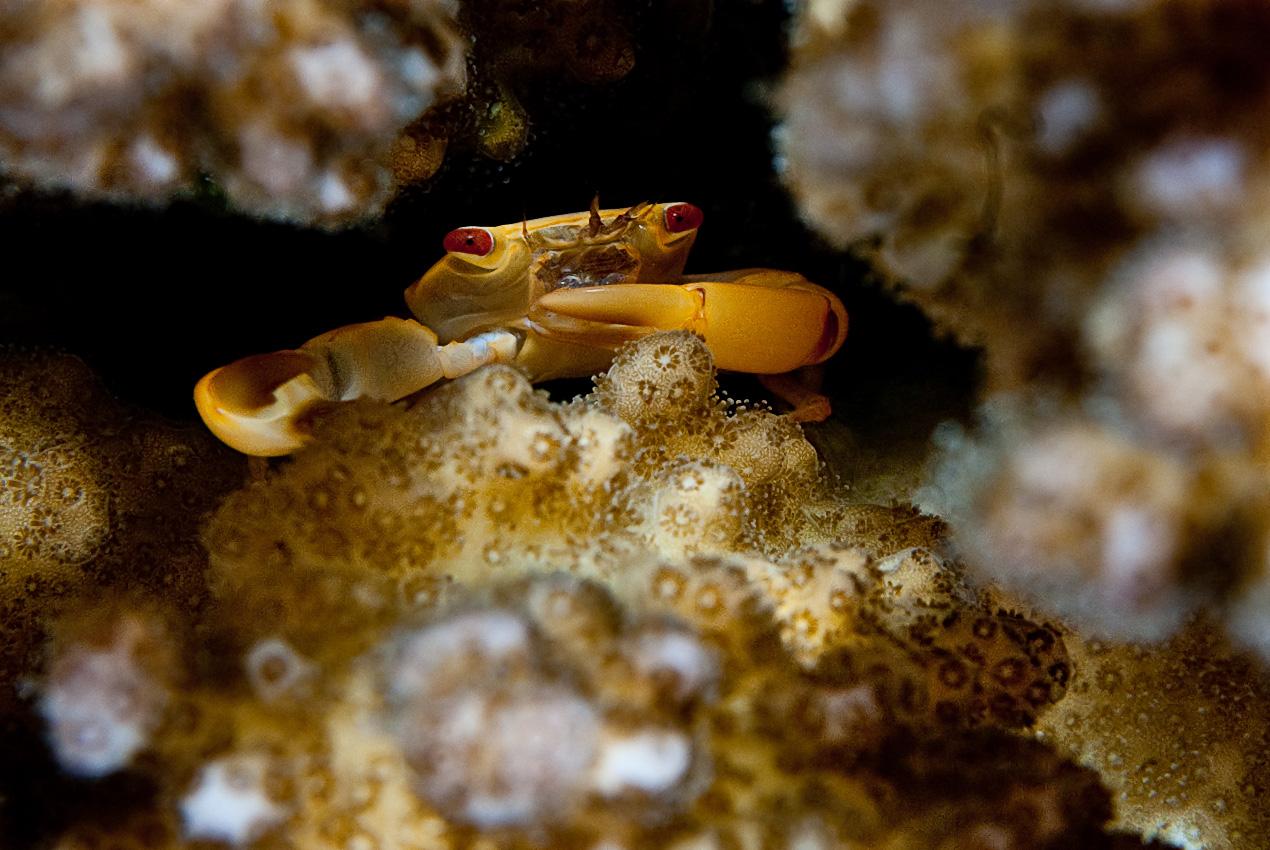 coral guard crab (Trapetzia sp)