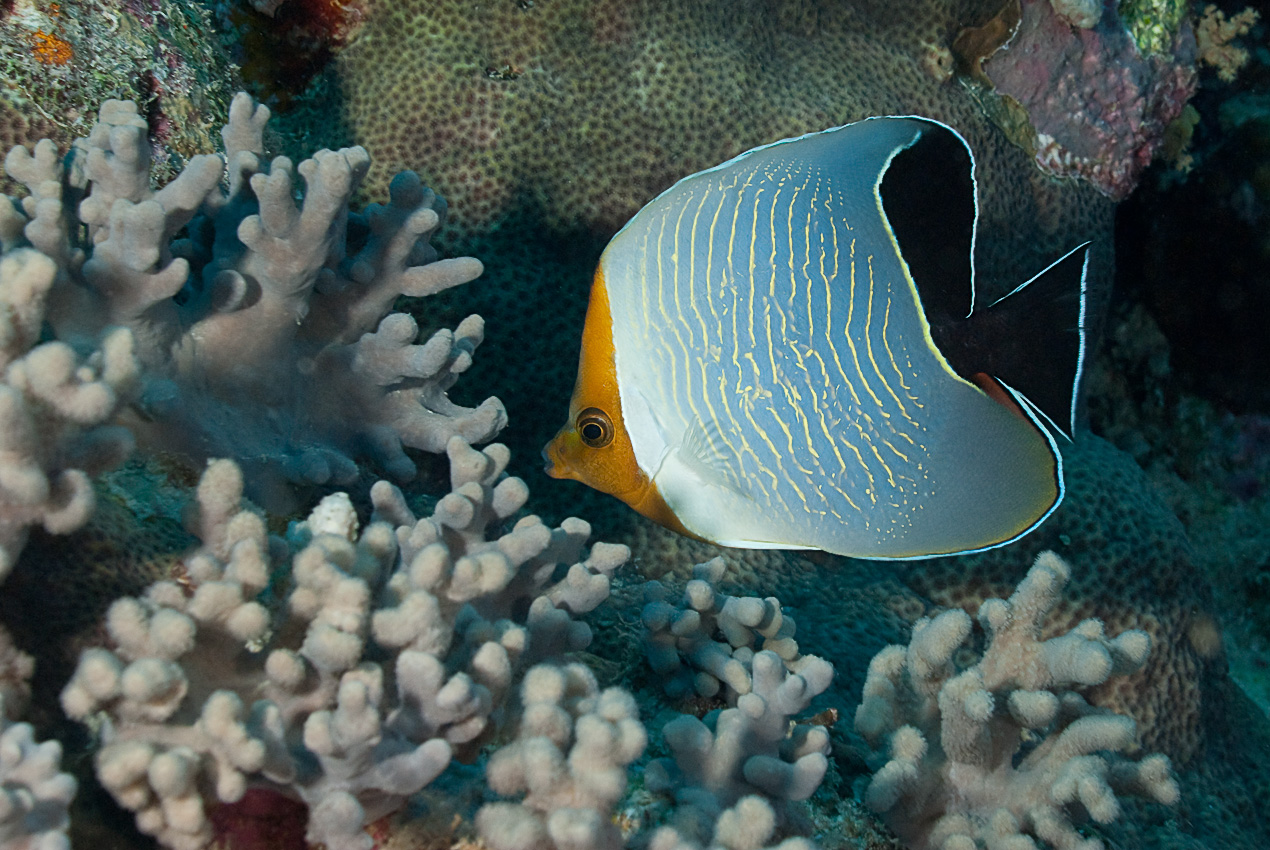 Orangehead butterflyfish (Caetodon larvatus)
