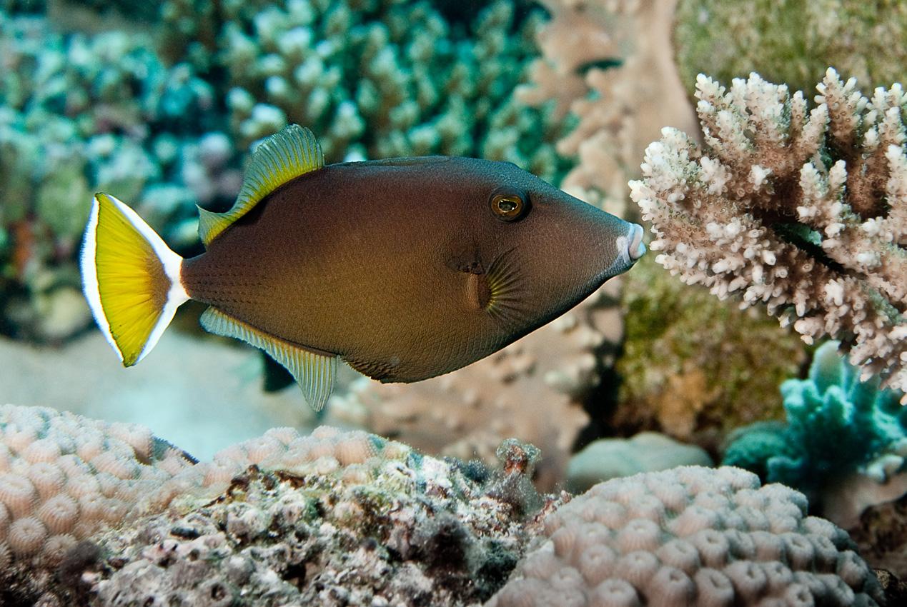 Bluethroat triggerfish (Sufflamen albicaudatus)