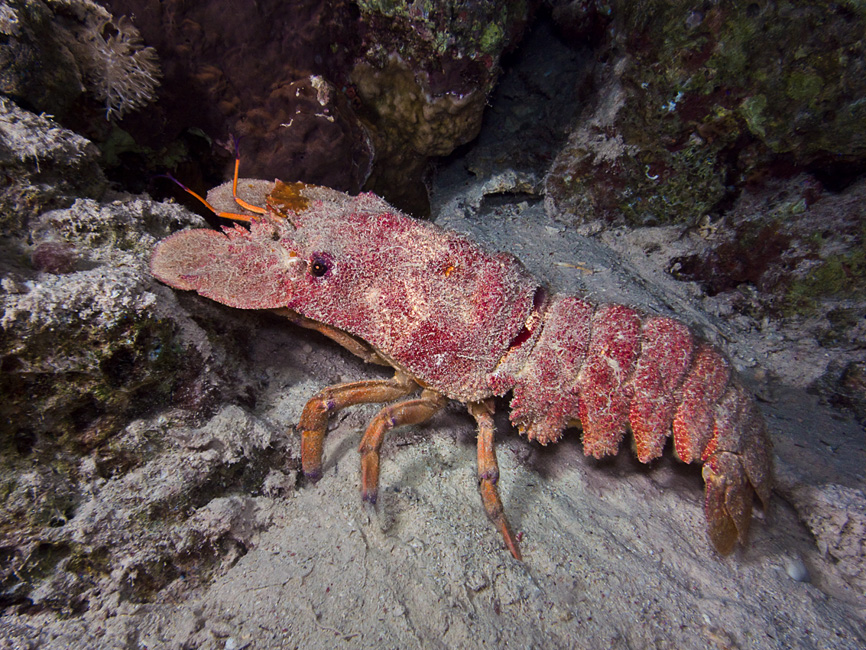 A big slipper lobster! Probably a Clam digger (Scyllarides tridacnophaga)