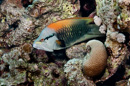 Slingjaw wrasse (Epibulus insidiator)