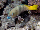 Rusty parrotfish, female (Scarus ferrugineus)