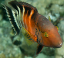 Rödbröstad praktgylta (Cheilinus fasciatus)