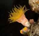cup coral (Tubastraea sp)