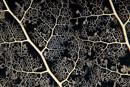 Korgstjärna (Astroboa nuda)