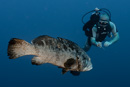 Piet with Potato grouper (Epinephelus tukula) at 32 m depth